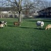 geiten in de wei