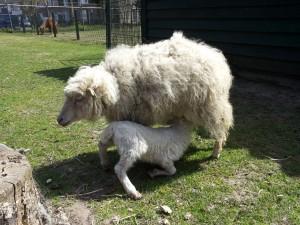 027 19-04-2015 Boxtel - kinderboerderij - ouessantschaap met lam