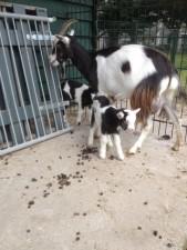 nog meer geiten 1