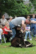schapen scheren 2019 004