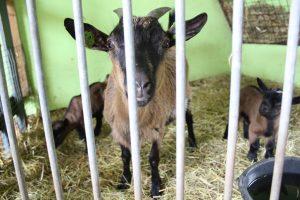 schapen scheren 2019 092