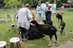 schapen scheren 2019 110